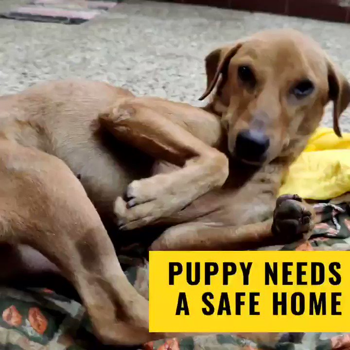 #ChennaiTwitter urgent adoption appeal Puppy is a (I think) 7mo male indie. He's a stray but is facing persecution in the area. needs a safe space to live. happy to just sleep and exist in a warm corner. his pack was taken away and he's all alone. I will vaccinate and neuter. RT