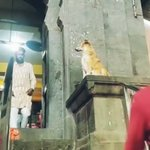 ご利益ありそう。インド・ムンバイにある寺院では「参拝者に祝福を与えるイッヌ」がいる。