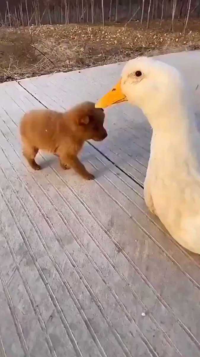 Because you want to see a puppy doggy hugging a goose.