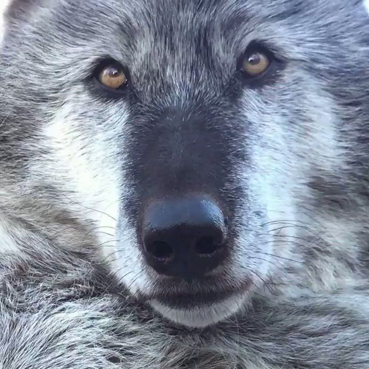 Beyond their beauty and ecological importance, wolves are unique, sentient creatures that have a value in and of themselves.   #StandForWolves