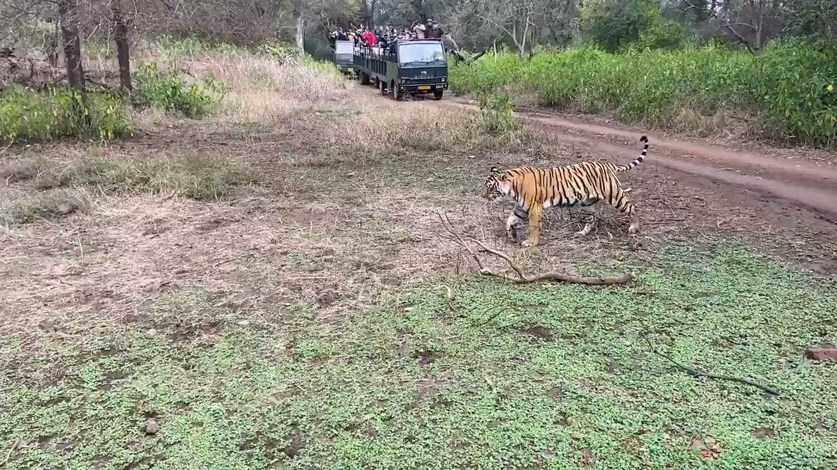 Tigers are the apex animals in the food chain,indicators of good ecological health @moefcc @my_rajasthan @ParveenKaswan @rameshpandeyifs @SudhaRamenIFS #tiger #wildlife #wildlifephotography #ifs #ranthambore #ecology