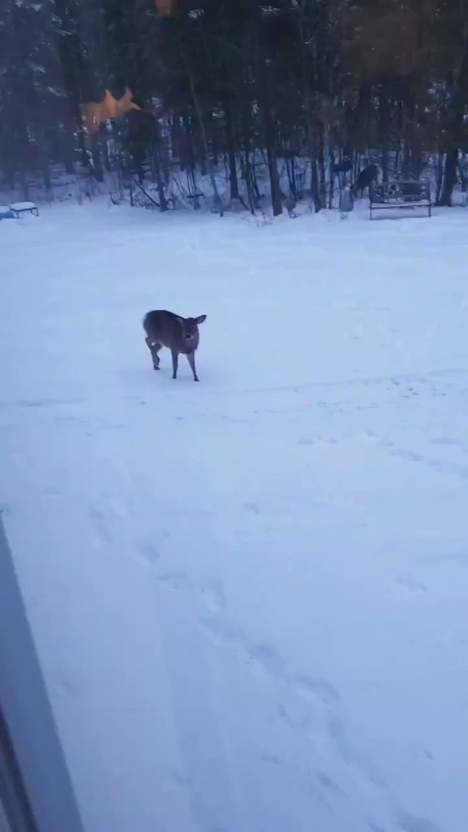 Yesterday evening, a young white-tailed deer spotted my parent's cat who was outside  🐱👀🦌   If you look it the woods, you can see the mother deer there 😊  #funny #animals #deer #Video