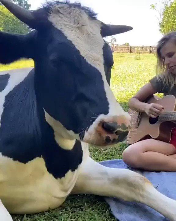 Bazen huzur için bir kaç notanın tınıları bile yeterlidir.  #music #meditation #InstrumentalMusic #Video #cow #guitarist #melody #animallover #serenity #huzur #müzik #hayvansevgisi #calmmusic #MeditationForHappyLife