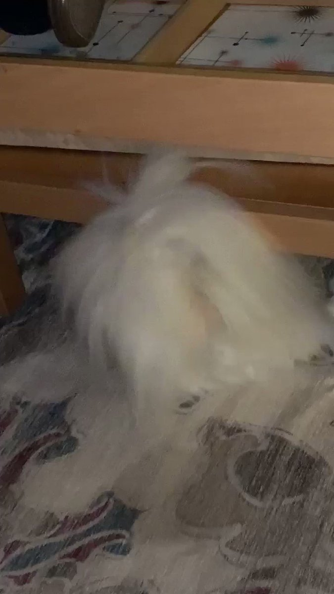 8:52pm on a Friday night. What is this white floofy thing you may ask? Alien? Vigorous swiffer duster? Nope. Feather of some exotic apartment bird? Never. It's a weird #Dog who sticks his tail out from under the coffee table. #ODD #dogsoftwitter
