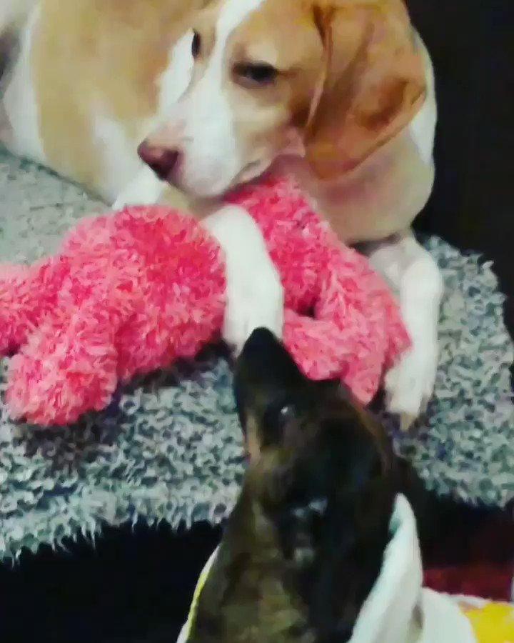 Frens, my bruv took my 🐇 hostage again. This was my reaction. 🙈🤭 #dogsoftwitter #dog #Chihuahua #beagle #SaturdayMorning
