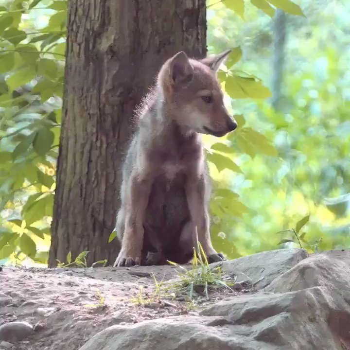 Too rare to remain silent.  With only 8 red wolves known to remain in the wild, he could be the last one you hear. #SaveRedWolves