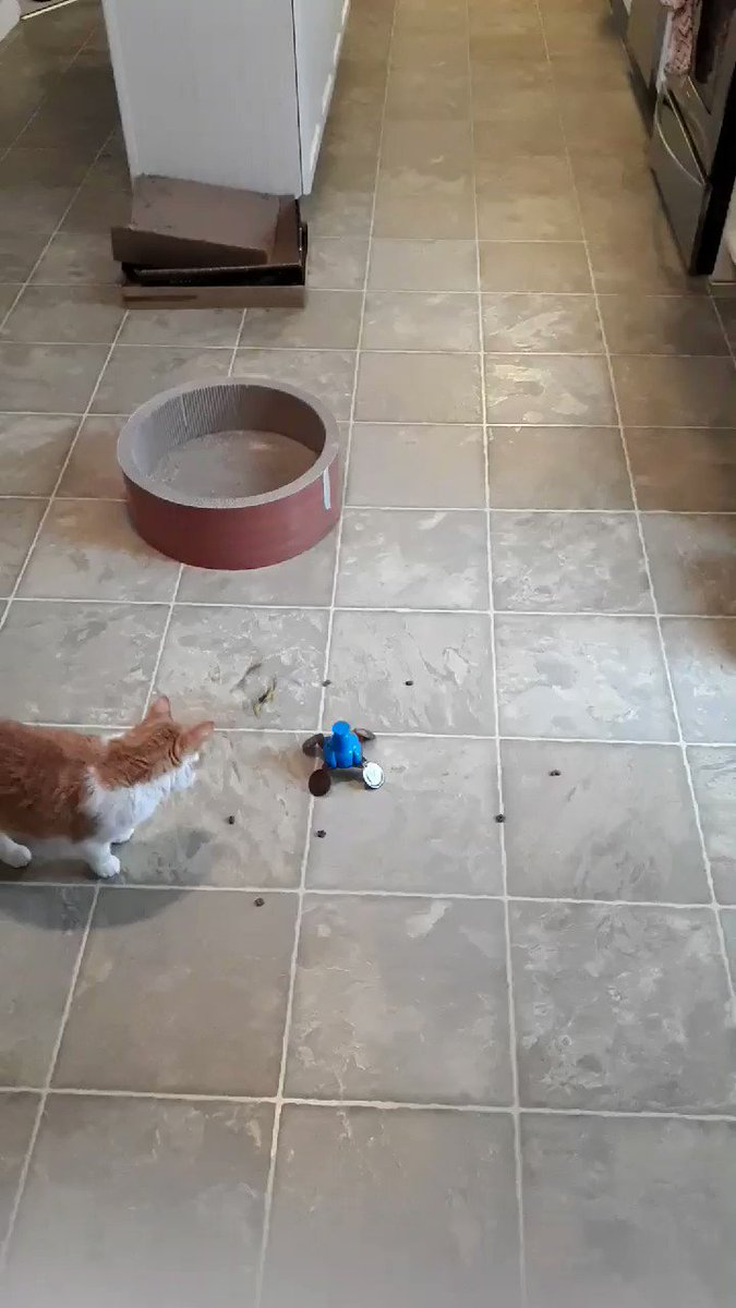 """Hello efurrybody.   Emma here.  Dis game is called """"Rescue the Treats  from da Spinning Toy"""".   Mummy's idea of fun.   I got one treat.  🤨🙄😾  Happy #Caturday.   💖😽  #CatsOfTwitter  #SaturdayMotivation  #SaturdayVibes  #cats"""