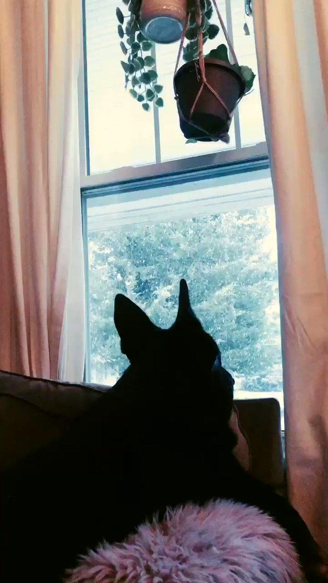 My wolf loves the snowfall 🥺❄️ #GermanShepherd #wolflink