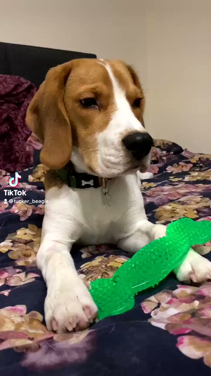 I didn't appreciate it 😤 • • • #beagle #beaglepuppy #puppy #puppylove #dogsoftwitter #dog #doggo #pet #funny #funnyvideo #2020Wrapped #weekendvibes #weekend #SaturdayVibes #saturday #mydogiscutest #pet #cute #lockdown #beagleboy #love #FolloMe #beaglelife #BeaglesofTwitter