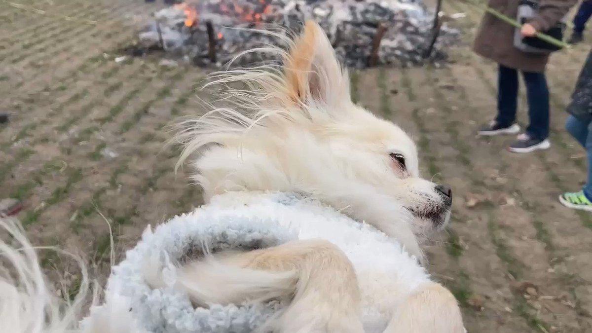 #どんど焼き と #うめこ  #ロングコートチワワ #longhairdchihuahua  #チワワ #chihuahua  #犬 #dog