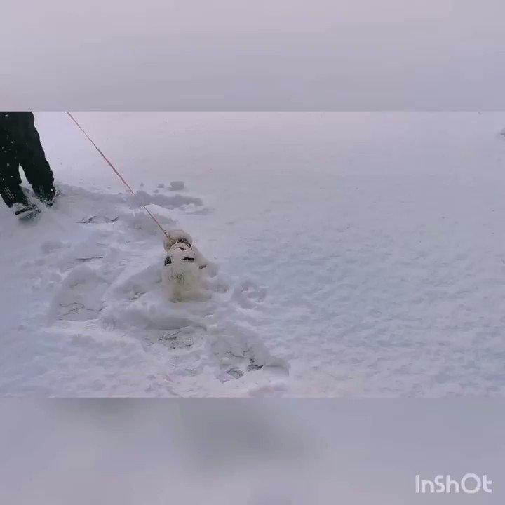 🐩初めて外を歩いたー🐩 人は着ぶくれ🤣 もこは恐る恐る~とことこ💜💜💜 #dog #マルチーズ #トイプードル #ミックス犬 #パピー犬 #犬 #マルプー #ペット #いやし犬 #もふもふ #可愛い犬 #犬好きさんと繋がりたい #マルプー子犬 #犬のいる生活 #犬のいる暮らし #子犬