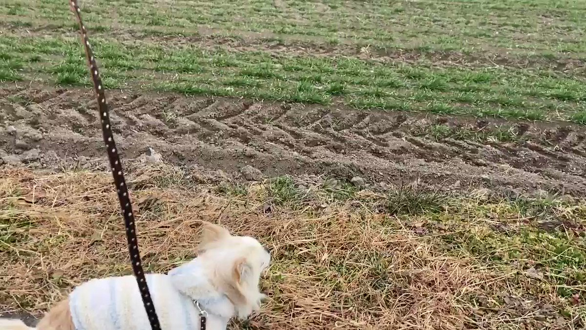 #うめこ さんと #さんぽ しながら🐸  #ロングコートチワワ #longhairdchihuahua  #チワワ  #chihuahua  #犬 #dog