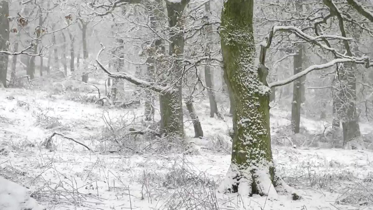 Snow falling in a silent Perthshire oakwood. #NatureScot #WildlifeMoment #MakeSpaceforNature #Winter