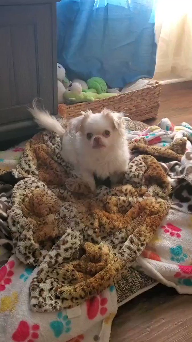 """When you try and catch Avery throwing a fit on stream because she had to take the BIG bed. So she stops barking & gives this stare..I heard """"you better turn that off and get her out of my bed NOW!"""" live @ 8:30 am pst to talk/watch @Capitals vs @penguins"""