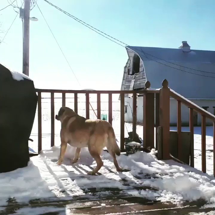 Myra was enjoying the sun while watching the snow melt this afternoon 🐶❄🌞Contact us for support:, Iowa Warmline1-844-775-9276 #30daychallenge #restday #day21 #dancechallenge #likenooneiswatching #crushcovid19 #inthistogether #covidrecoveryiowa