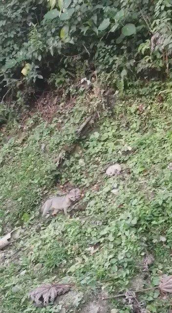 #Reportan Este zorro fue avistado ayer domingo en la vereda Chirí de Briceño Antioquia #Finca la Capa Rosa #Cerca al embalse de la Hidroeléctrica Ituango #Proteger #Cuidar @Corantioquia @roures1 @luisyepesb @genteconvos @eduarbike @bebetoa