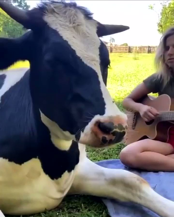 She's a music lover!   #beautiful #love #cow