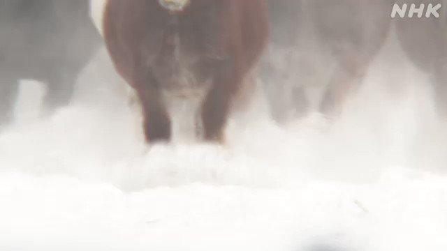 冬場の運動不足を解消しようと、馬を雪の上で走らせる恒例の「追い運動」が、北海道十勝の音更町の牧場で行われています。#nhk_video