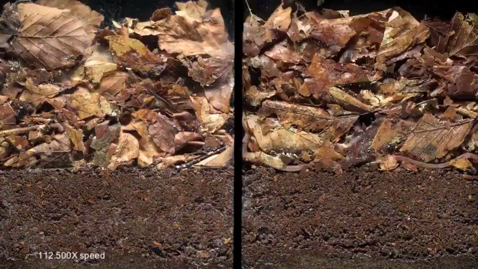 Bioturbation is the mixing of (plant) residues into soils and sediments by biotic activity. It is one of the fundamental processes in ecology. On the left: Layers of leaves and dirt with no soil fauna. On the right: with soil fauna [learn more: ]