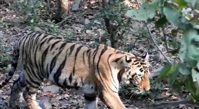 Plastic is a significant threat to wildlife. A tiger in Alizanza in Tadoba buffer calls for intensive drive to make our PAs plastic-free zones. @uddhavthackeray @AUThackeray @ntca_india @SPYadavIFS @PrakashJavdekar @SunilWarrier1 @jituramgaokar @RandeepHooda @TOI_Nagpur @etadoba