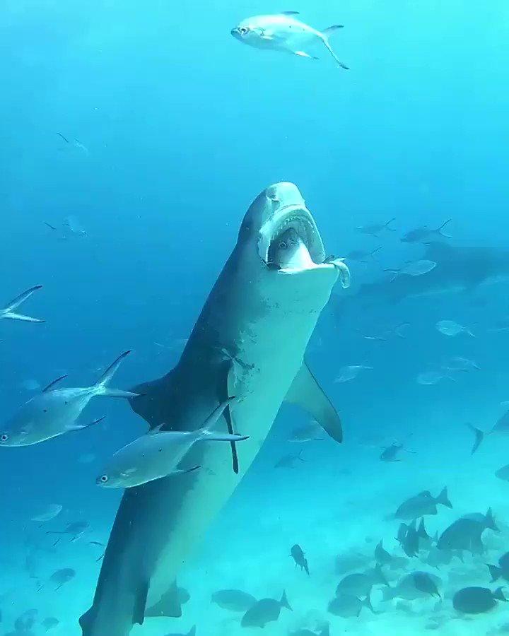 Replying to @PADI: Someone said it's like a tuna wearing a shark costume 🤷🎥:  pelagicdivefuvahmulah
