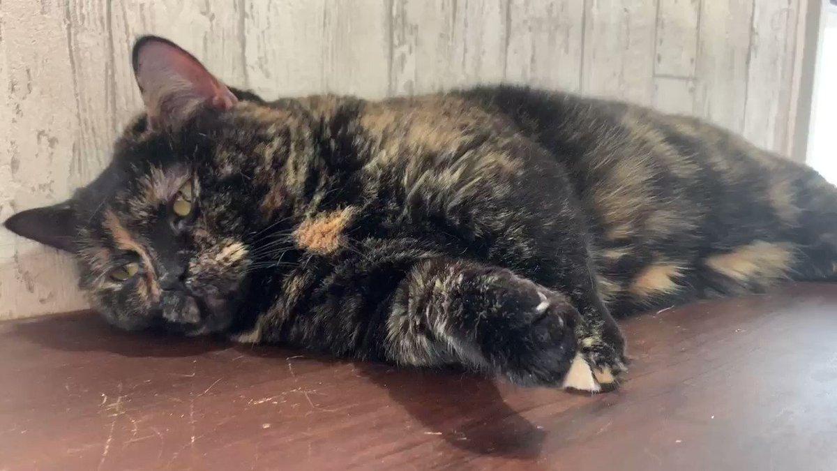 Image for the Tweet beginning: まいきゃっと横浜店🐈  ☆ゆう☆  ゆう「ぬくい…😪」 エアコンがあたっていて暖かい所で寝るゆうちゃん☺️  #猫 #猫カフェ #横浜 #まいきゃっと #cat  #CatsOfTwitter