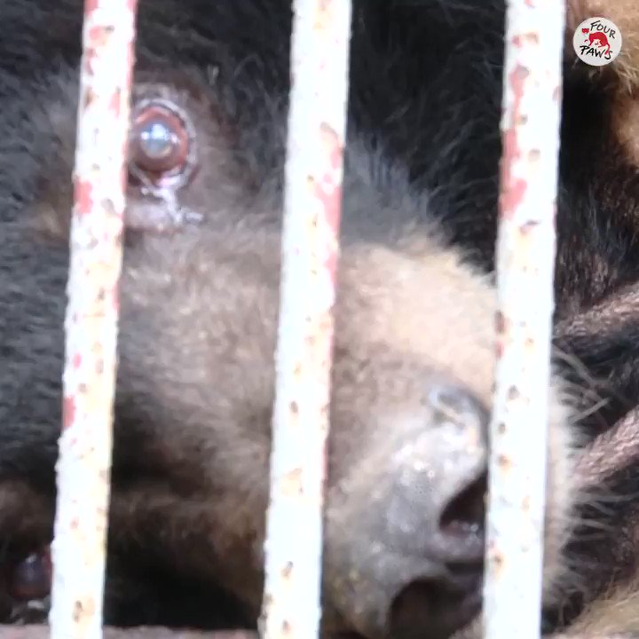 A new beginning for the seven former bile bears   The rescue of Lam, La, Sang, Khe, Dua, Oi and Xoai was our biggest bile bear rescue last year!   Thank you for your support.  Find out more about their rescue here:   #AnimalRescue #Bears #Animals