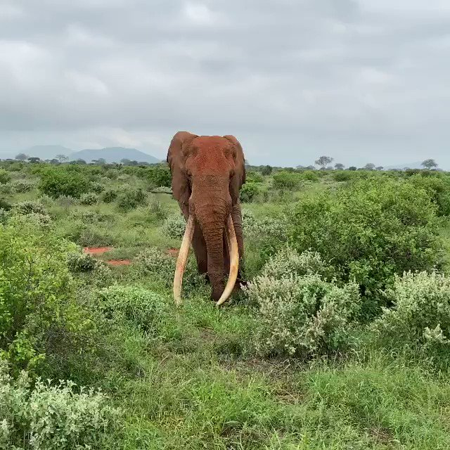 #DidYouKnow that the 'Mighty Super tuskers' of Tsavo often have interesting and elevated positions in the social hierarchy of elephants.  ✅Kenya Safaris:   Video Credits: @tsavotrust   #videooftheday #wednesdaythought #InaugurationDay #Inauguration2021