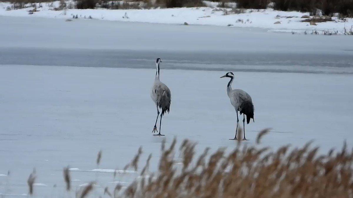 ¿Sabéis que las grullas saben moverse sobre el hielo? Os dejamos este vídeo que nos pasa @CarminaFranco7 desde el @CILagunaGalloca . La laguna de Gallocanta se ha helado, como os contamos ayer en el periódico. Ahora os lo mostramos también en imágenes