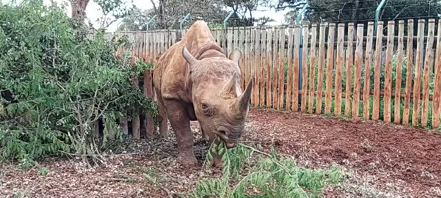 Munchies with Maxwell, an orphaned blind black #rhino in our care. He uses his incredible sense of smell and hearing to map out his world. Donations ensure we can meet his needs with a spacious stockade, veterinary care and tasty snacks: