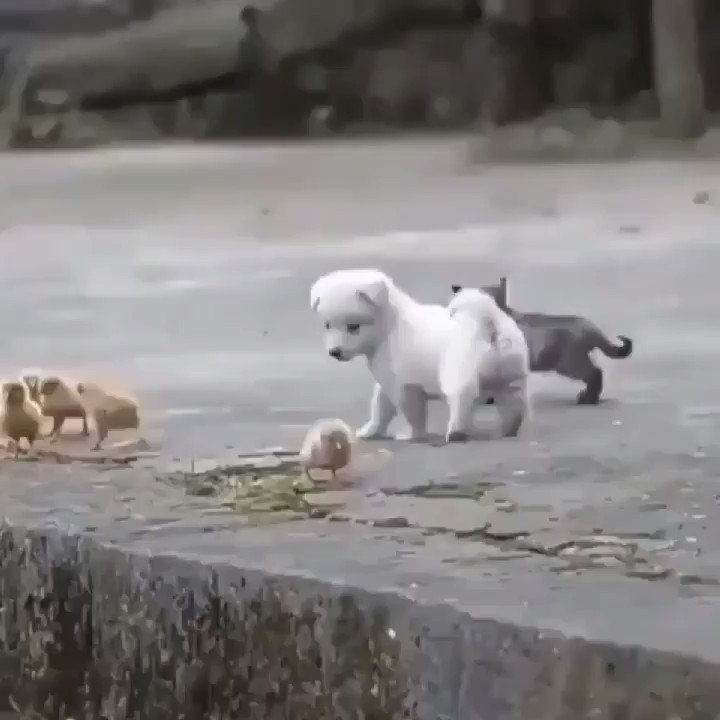 Replying to @nalvasouzavitor: pup playing with his new friends.
