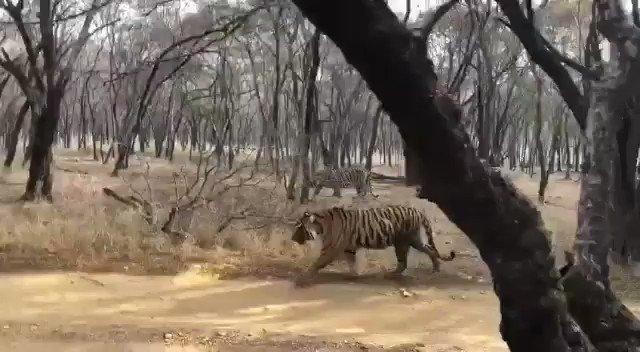 #junglediary #junglezone Two tigresses fighting for territory.. #ranthambore