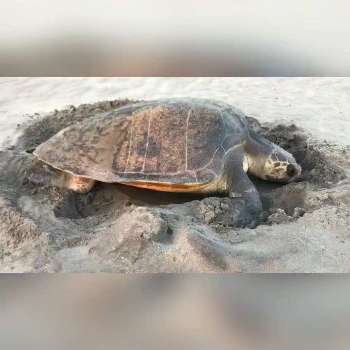 A wonderful sight of an Olive Ridley Turtle at the Morjim beach.