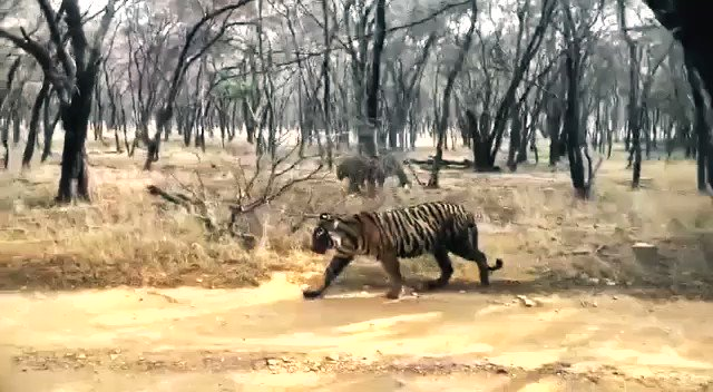 Tigress Arrowhead's offsprings Ridhi and Sidhi were involved in five territorial fights in #Ranthambore National Park in the last 3 months. The territorial fights indicate the lack of space in the #Tiger #Reserve. Sharing video of the same.  #tigers @ranthambore @ranthamborepark