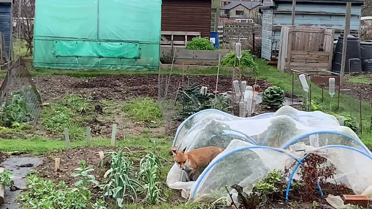 First time i see a fox going for brussel sprouts in broad day light! 😳 #urbanfox #fox #cutefox #TwitterNatureCommunity #natureuk #twitter4nature #vegplot #allotment #gardenlockdownjobs