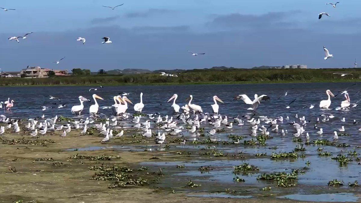 Great white pelicans #birdwatcher #nature #friends #PictureOfTheDay #animal #earth_beatiful  #arizona #woodpecker #wildlife #birds #birding #PostABird #LockdownBirding #photography #BirdTwitter #naturephotography #birdphotography #WeLoveSouthAfrica #SouthAfrica