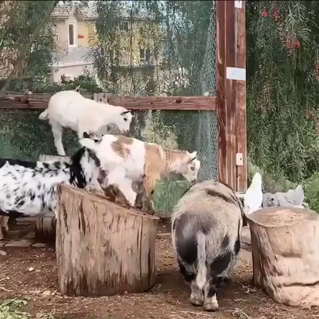 Hanging out with the kids on #SaturdayMorning 🐖🐐