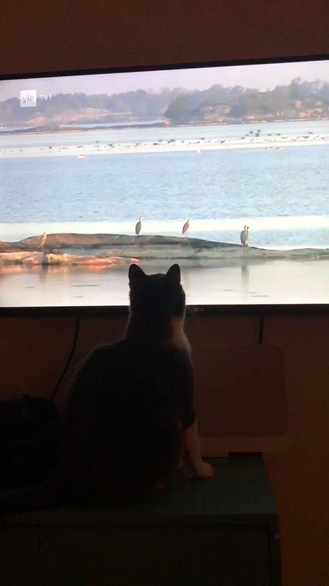 Mä en tiennyt että mun kissa osaa ruotsia 😱 #CatsOfTwitter #kissanelämää #SaturdayVibes #naturelover