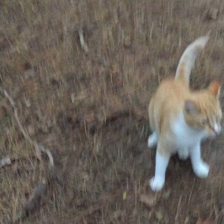 Follow the latest adventures of @karlshowbiz on IG  I see all sorts of wild animals on my walks.. even little lions 🦁 #Caturday #Texas 🇨🇱 PLZ FOLLOW MY IG