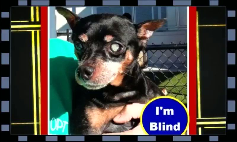 💥 #EXTREMELY URGENT  🆘  ANIMALS  MIAMI DADE #FLORIDA 🆘   #ADOPT #FOSTER #RESCUE   Pls #PLEDGE to encourage #RESCUE   (CONFISCATION CASE)   #A2205440  RONI Is a gorgeous, sweet #BLIND 8yr old boy He loves people & seems to love other animals too.   🏡Pls give me a home!  More⬇️