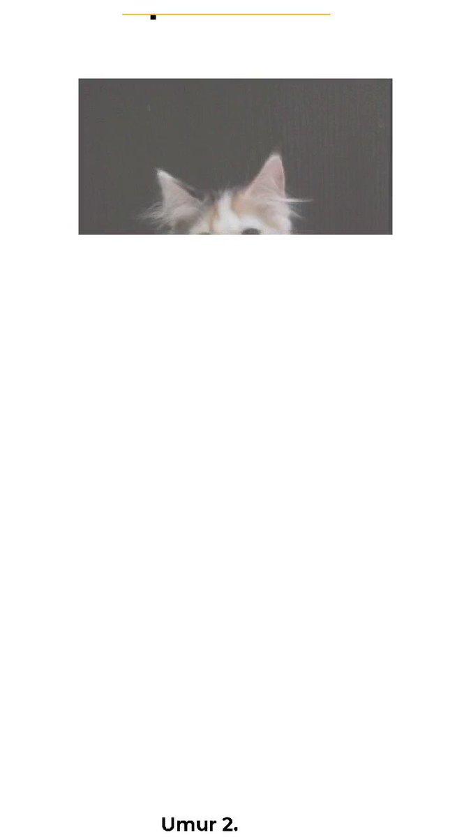 Lepas Adopsi.  Kitten Persia Calico. Betina. Umur 2.5 bulan. Poop dan pee sudah di pasir.  Yg minat bisa DM :) #adopt #persia #kitten #calico #persian