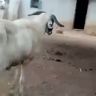 While #sundayvibes Herdsmen Hausa Yoruba Sunday igboho Asuu #BussItChallenge #Buhari IPOB Akungba #MUNLIV Fulani are all trending. My question is what has that motivational speaker told this ram now erh 😂😂😂