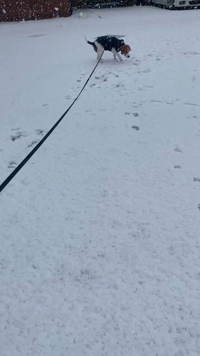 Snow ❄️  • • • #beagle #beaglepuppy #beagledog #doglovers #puppyworld #puppylife #snow #snowday #Snowuk #snowwalk #myfirstsnow #letitsnow #winter #sundayvibes #SundayMorning #SundayFunday #weekend #doggo #happy #happypupeday