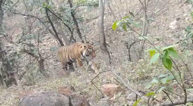 Today Afternoon Safari at Zone 1 in Ranthambore National Park.  Ranthambore National Park   #Tiger #wildlife #bigcat #ranthambore #Junglesafari #tigersafari