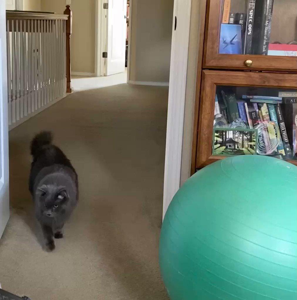 Swiss ball lives in my office. Cat did NOT approve. 🙃🐾  #Sunday #Surprise #Nebelung #NebelungsOfTwitter #cats #catsoftwitter #SundayMorning #sillycat