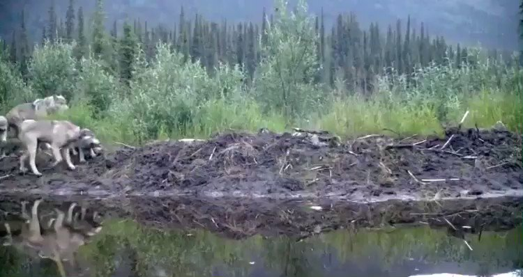 a large family of wolves captured by a wildlife camera in a national preserve in the yukon https://t.co/zxoqp3qOlu