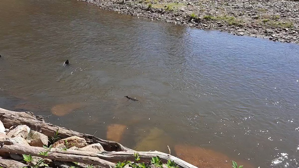 "As the Upper Murray recovers from the 2019-20 bushfires, @NorthEastCMA was happy to see this little fella bob up to say hello on Nariel Creek. The platypus has recently been listed as ""vulnerable"" in Victoria. #biodiversity #bushfirerecovery #platypus https://t.co/K8xfeTwAh6"