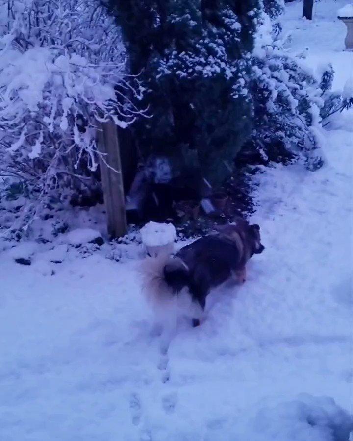 Snow #snow #snowdog #dog  @BBCBreakfast @mrdanwalker @louiseminchin @MrsSOsbourne