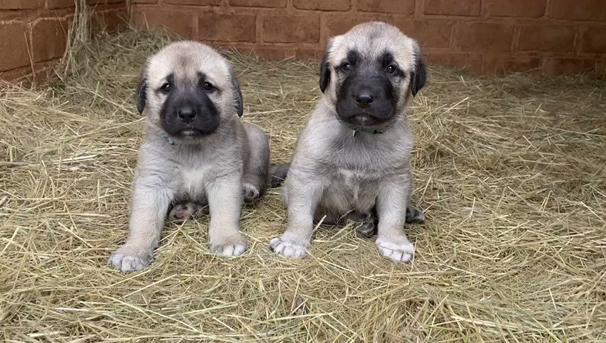 What could be better on a #Mondaymorning than a couple of adorable livestock guarding #dog #puppies?! Learn more about this unique and innovative part of our #cheetahconservation programme: