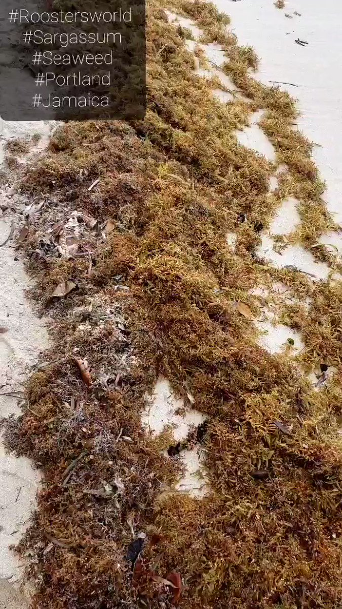 Did you know that what we generally call Sargassum can consist of more than one species of seaweed? #Roostersworld #Portland #Jamaica #Seaweed #Sargassumfluitans #beach #Caribbean